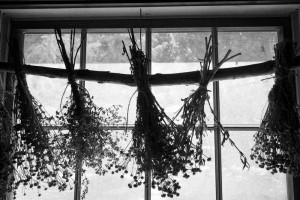 herbs drying in window